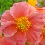 Helianthemum Coachman's Salmon Coral