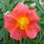 Helianthemum Mrs Mold