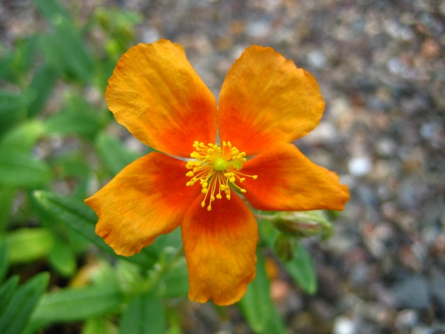 Helianthemum Captivation