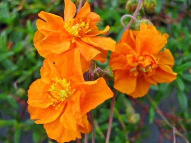 Helianthemum Orange Phoenix