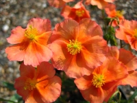 Helianthemum Pershore Orange