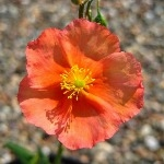 Helianthemum Pershore Orange