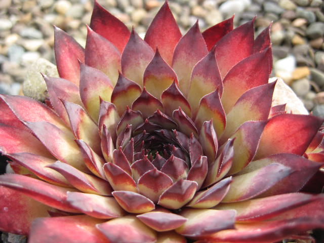 Sempervivum Purple Haze  late spring