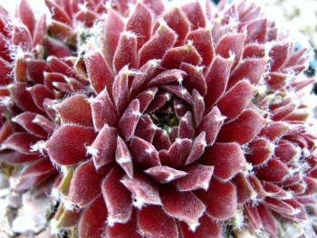 Sempervivum Whitening