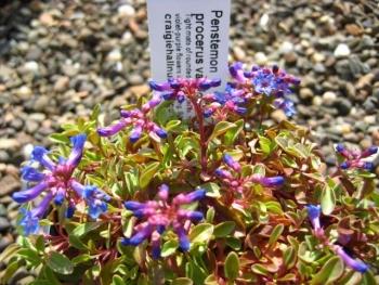 Penstemon procerus var. formosus