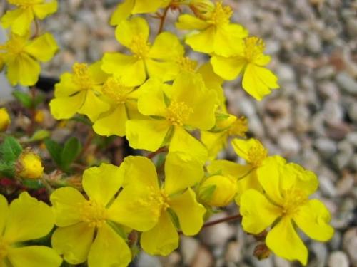 Helianthemum oelandicum var. piloselloides