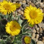 Erigeron aureus 'The Giant'