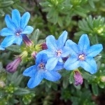 Lithodora diffusa 'Compacta'