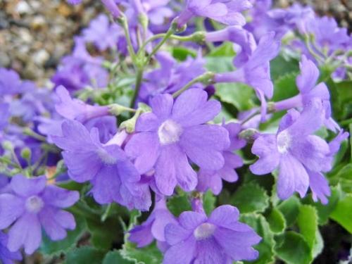 Primula marginata Kesselring's Variety