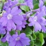 Primula marginata 'Kesselring's Variety'