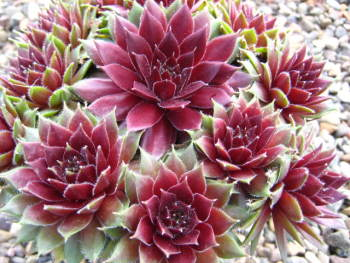 Sempervivum Corsair