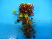 sempervivum rooted offset
