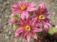 Sempervivum 'Sunburst' in flower