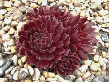 Sempervivum Terracotta Baby