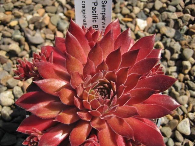 Pacific Blazing Star (June)