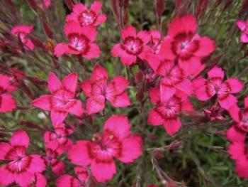 Dianthus deltoides 'Broughty Blaze'