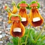 Calceolaria Walter Shrimpton