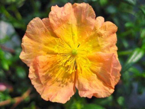 Helanthemum Albert's gold