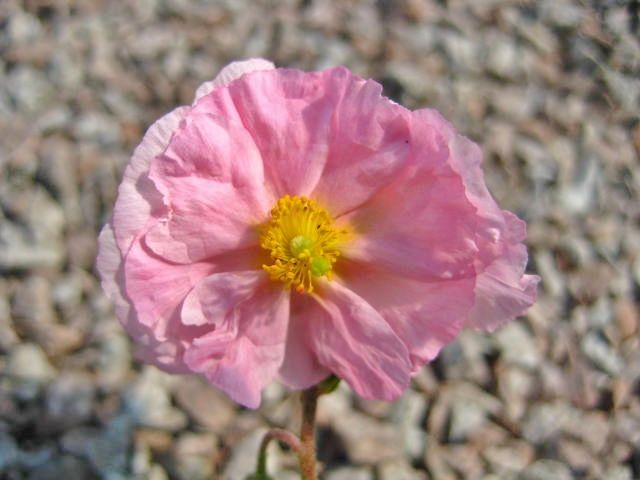 Helianthemum Marianne