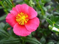 Helianthemum Diana