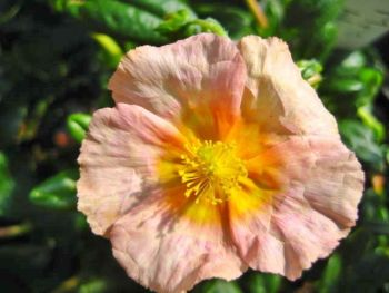 Helianthemum Mrs Hays