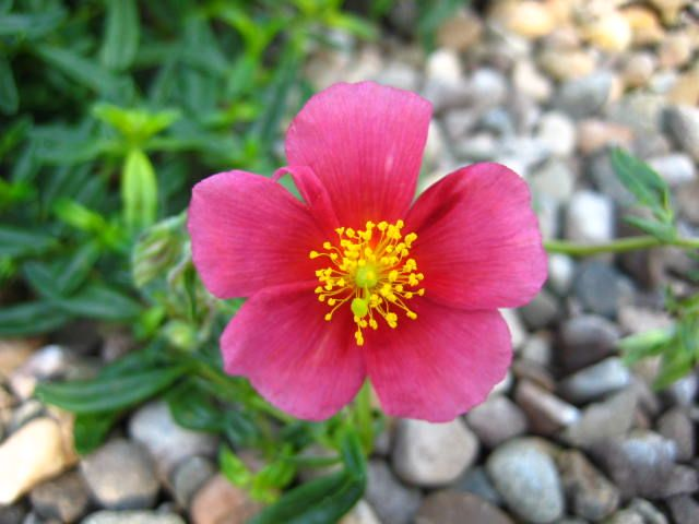 Helianthemum Medwyn Rose