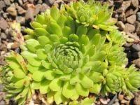 8 Sempervivum Green collection 9cm pots