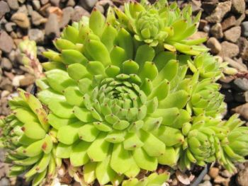 8 Sempervivum Green collection 9cm pots
