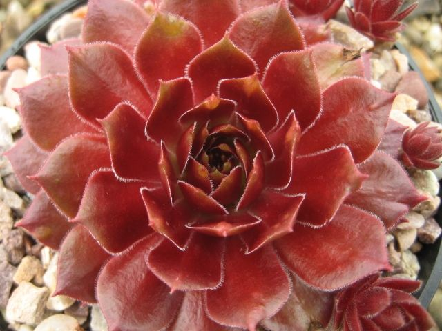 8 Sempervivum, Red varieties