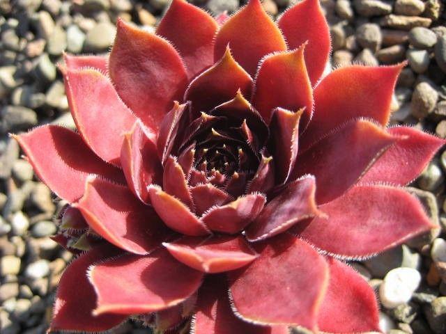 Vergilia  (July)