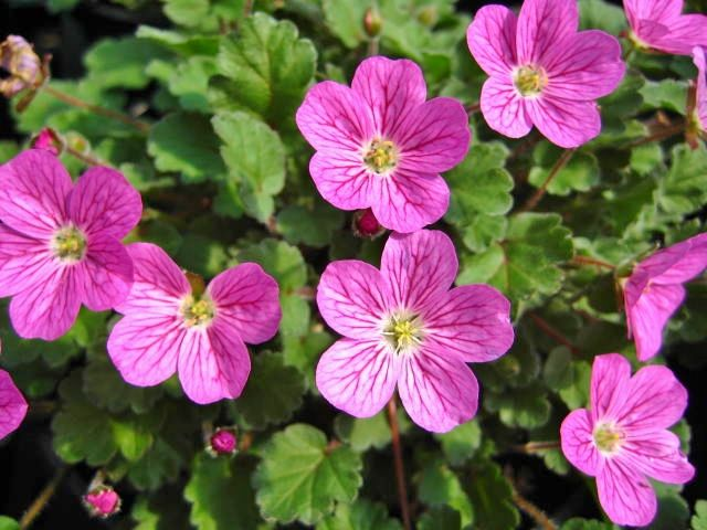 Erodium x variable 'William Bishop'