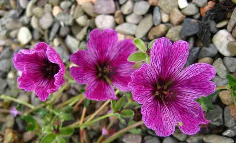 geranium laurence flatman