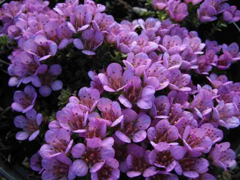 Saxifraga Oppositifolia