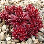 Sempervivum Red Ace