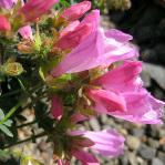 Penstemon rupicola 'Conwy Rose'