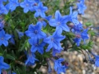 Lithodora diffusa 'Heavenly Blue'  AGM