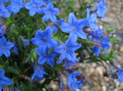 Lithodora diffusa 'Heavenly Blue' (small)  AGM