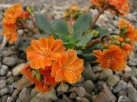 Lewisia cotyledon (Sunset Group)  AGM