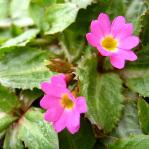 Primula warshenewskiana