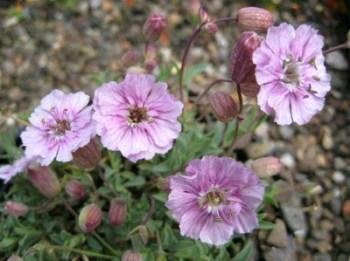 Silene uniflora 'Rosea'