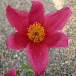 Pulsatilla vulgaris (Rose)