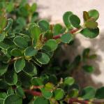 Cotoneaster congestus 'Nanus'
