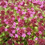 Thymus Red Carpet