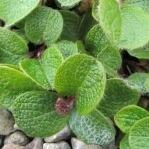 Salix reticulata  AGM