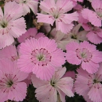 Dianthus Pudsey Prize