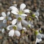 Saxifraga cochlearis 'Minor' AGM