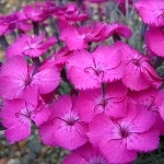 Dianthus Whatfield Magenta  AGM