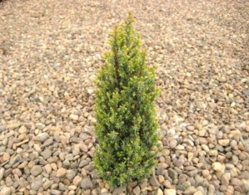 Juniperus communis 'Compressa'