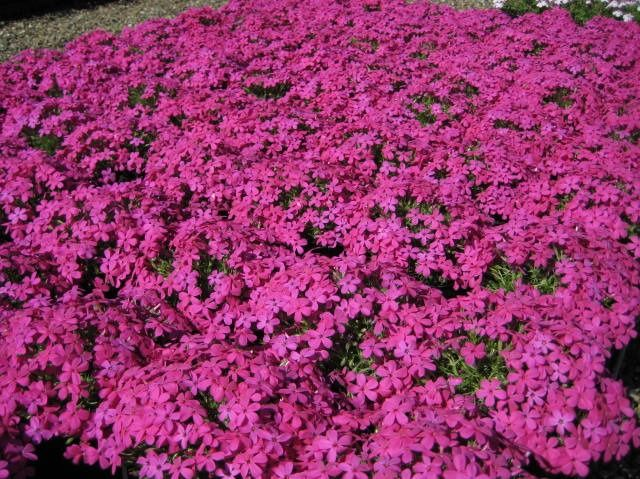 phlox crackerjack pots