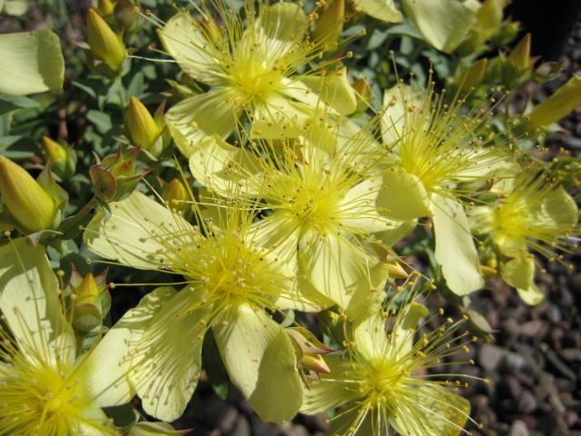 Hypericum olypicum 'Citrinum'